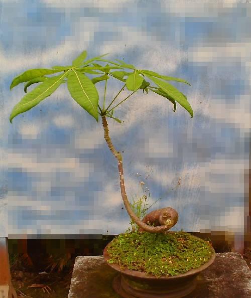 上的小发财树盆栽